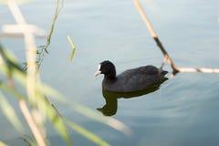 Pato salvaje en hábitat natural Fotografía de archivo