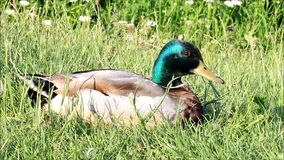 Pato salvaje en la naturaleza, pato silvestre, Anas Platyrhynchos almacen de metraje de vídeo