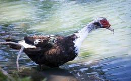 Pato salvaje en un parque fotos de archivo