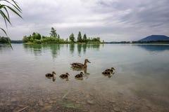 Pato salvaje familiy Imagen de archivo libre de regalías
