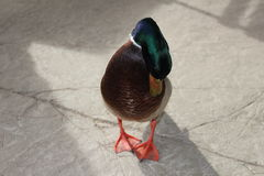 Pato salvaje masculino Foto de archivo