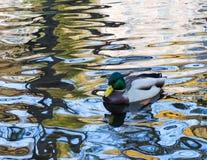 Pato salvaje masculino en el agua fotos de archivo libres de regalías
