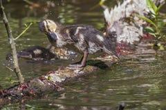Pato salvaje (platyrhynchos de las anecdotarios) Foto de archivo libre de regalías