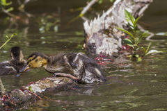Pato salvaje (platyrhynchos de las anecdotarios) Imagen de archivo