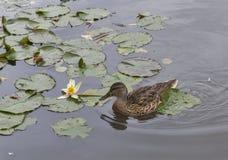 Pato salvaje que flota en la charca con el lirio de agua Foto de archivo