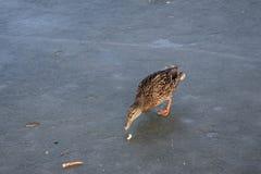 Pato salvaje que recorre en el agua congelada en el invierno Foto de archivo libre de regalías