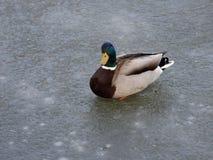 Pato salvaje que recorre en el agua congelada en el invierno Fotografía de archivo libre de regalías
