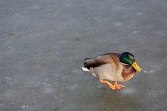 Pato salvaje que recorre en el agua congelada en el invierno Fotografía de archivo