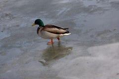 Pato salvaje que recorre en el agua congelada en el invierno Imagenes de archivo