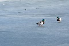 Pato salvaje que recorre en el agua congelada en el invierno Imágenes de archivo libres de regalías