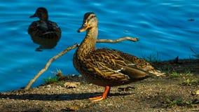 Pato salvaje que se coloca en la orilla del lago, mirando alrededor metrajes