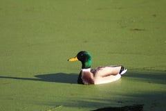 Pato salvaje y x28; Platyrhynchosz& x29 de las anecdotarios; Fotografía de archivo libre de regalías