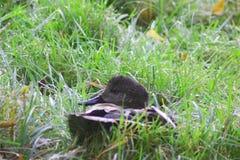 Pato salvaje y x28; Platyrhynchosz& x29 de las anecdotarios; en hierba Fotografía de archivo libre de regalías