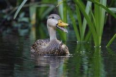 Pato sarapintado masculino que chama um rio de Florida fotografia de stock
