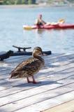 Pato seguro na plataforma de flutuação, Portland Oregon, EUA foto de stock