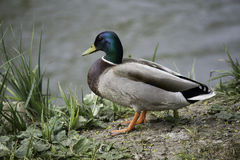 pato selvagem Foto de Stock Royalty Free