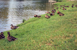 Pato selvagem Fotos de Stock Royalty Free
