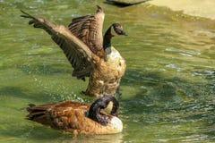 Pato selvagem Imagem de Stock