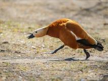 Pato selvagem Imagens de Stock