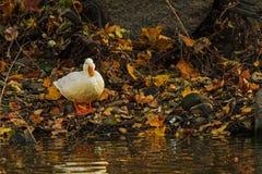 Pato selvagem branco no outono Fotos de Stock