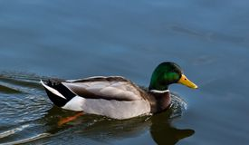 Pato selvagem brilhantemente colorido do pato que move sobre uma lagoa azul lisa em Boise Idaho imagens de stock