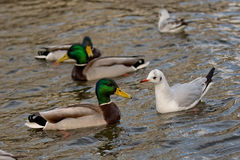 Pato selvagem com gaivota de miado Fotografia de Stock Royalty Free