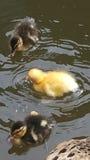Pato selvagem com pintainhos Imagem de Stock Royalty Free