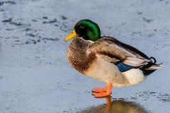 Pato selvagem comum do homem que está no gelo Imagem de Stock