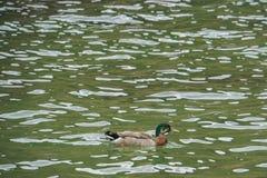 Pato selvagem da água no lago em Nova Zelândia Foto de Stock