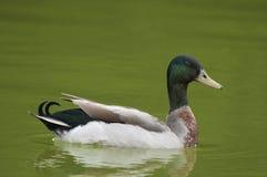 Pato selvagem da natação Fotos de Stock