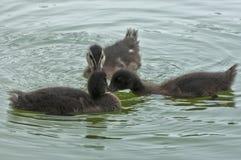 Pato selvagem da natação Imagem de Stock Royalty Free