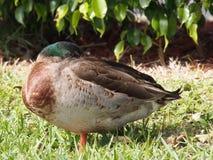 Pato selvagem de descanso Fotografia de Stock Royalty Free