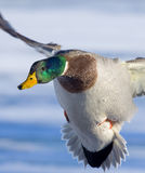 Pato selvagem de Drake entrante Fotografia de Stock Royalty Free