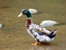 Pato selvagem do ancião Imagem de Stock Royalty Free
