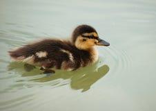 Pato selvagem do bebê Foto de Stock