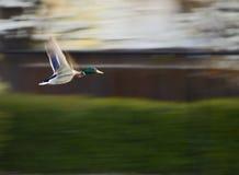 Pato selvagem do vôo Fotos de Stock