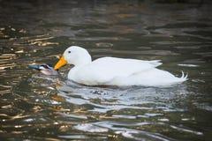Pato selvagem doméstico invasor Mates With Black Duck Imagens de Stock Royalty Free
