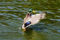 Pato selvagem Drake Taking Flight imagens de stock
