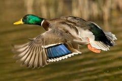 Pato selvagem Duck In Flight Imagem de Stock