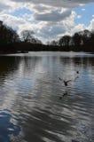Pato selvagem em voo sobre um lago em Inglaterra Foto de Stock Royalty Free