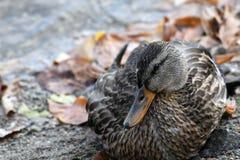 Pato, pato selvagem, fêmea Imagem de Stock