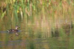 Pato, pato selvagem, fêmea Foto de Stock