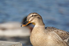 Pato selvagem fêmea Imagem de Stock Royalty Free