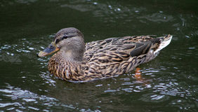 Pato selvagem fêmea Fotografia de Stock Royalty Free