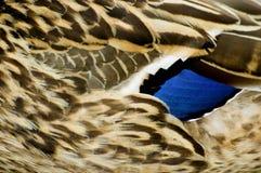 Pato selvagem fêmea Fotos de Stock Royalty Free