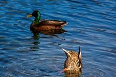 Pato selvagem fêmea com cabeça na água e parte inferior que cola acima foto de stock royalty free