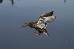 Pato selvagem fêmea Duck Landing em um lago com as asas estendidas fotos de stock