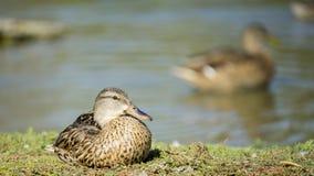 Pato selvagem Hen Resting por um lago Imagem de Stock