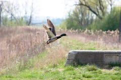 Pato selvagem masculino Foto de Stock Royalty Free