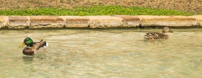 Pato selvagem masculino e fêmea na água Imagem de Stock Royalty Free